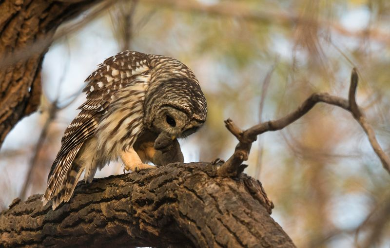 Chouette Rayée / Barred Owl / Strix variaphoto preview
