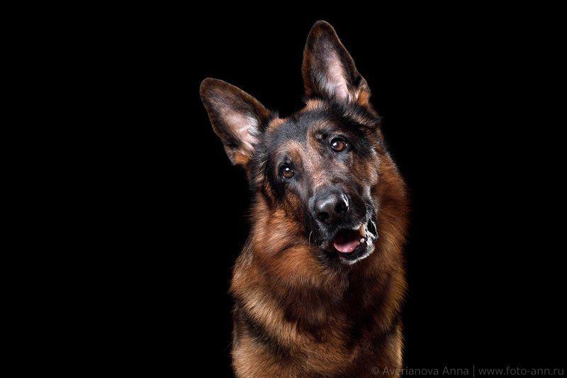собака, немецкая овчарка, студия Портрет Немецкой овчарки photo preview