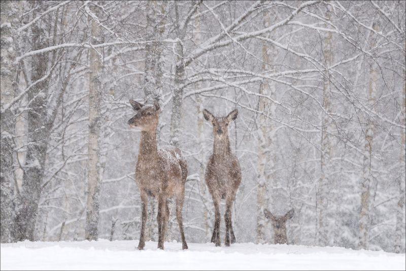 беларусь, красный бор, зима, снег, олень, лань, витебщина, Let it snow,  let it snow, let it snow ......photo preview