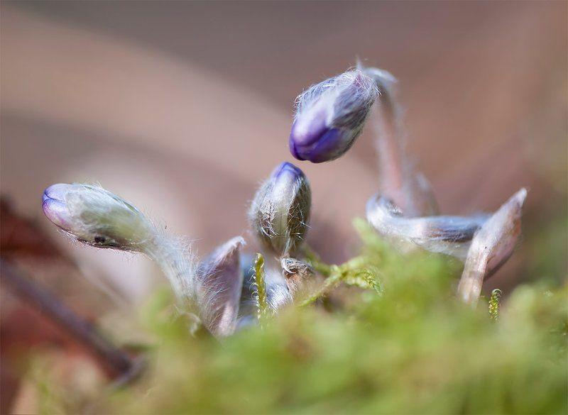фиалки,весна Весна пробуждает бутонphoto preview