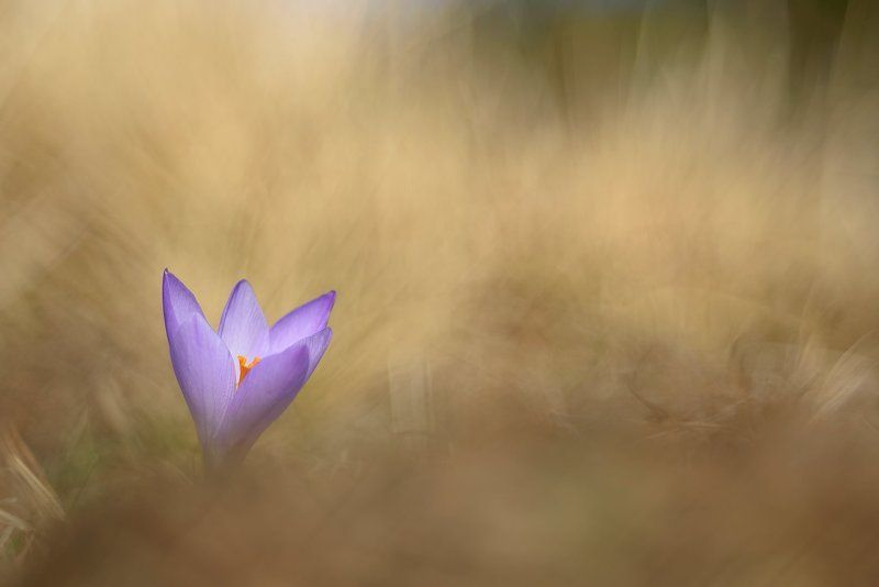 Crocus vernusphoto preview