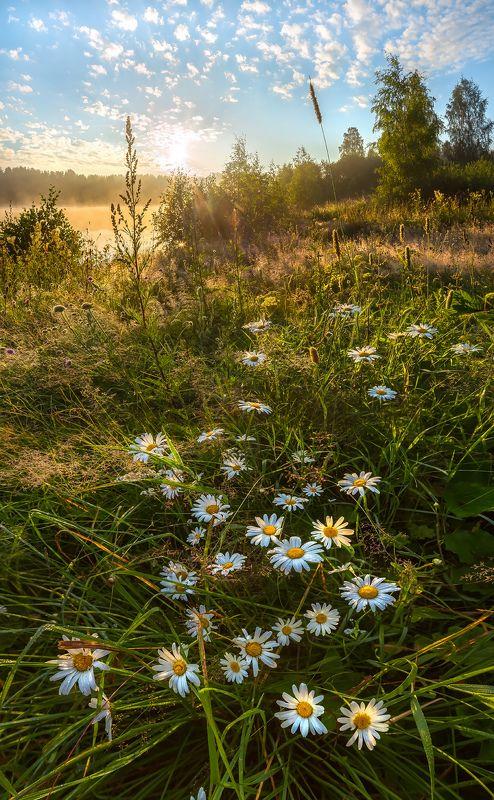ленинградская область, лето, ромашки, рассвет, утро, цветы, солнце, роса, луг, озеро. Ромашковое утро!photo preview