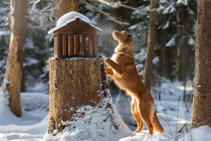 собака, лес, зима, толлер Птичка улетела...photo preview