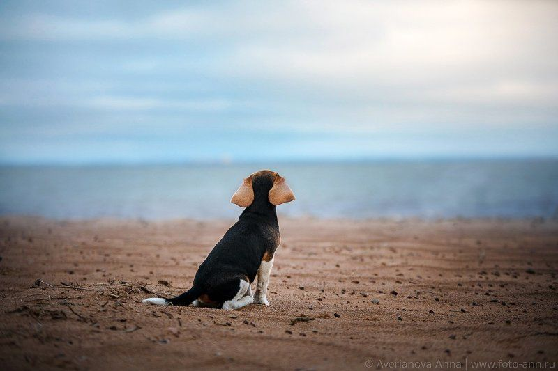собака, море, бигль photo preview