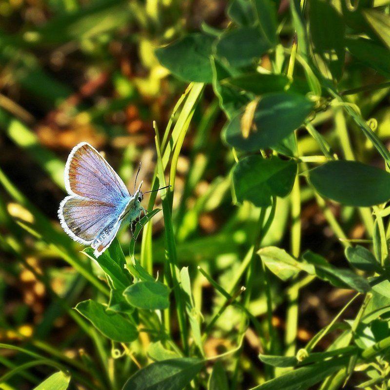 макро, утро, лето, степной Алтай  Голубянка по утру! photo preview