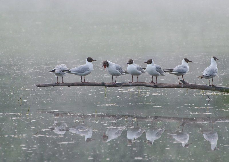 птицы чайки Кто расскажет небылицуphoto preview