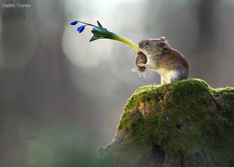 Мышь и подснежникphoto preview