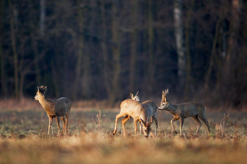 roe deers, wildlife, animals, field, Polansphoto preview