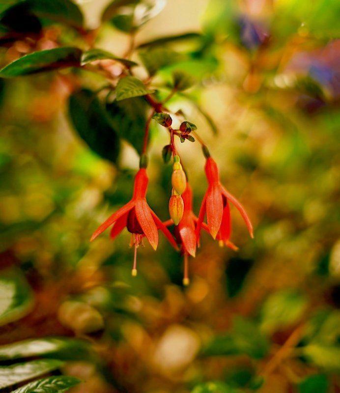 Fuchsia Plantsphoto preview
