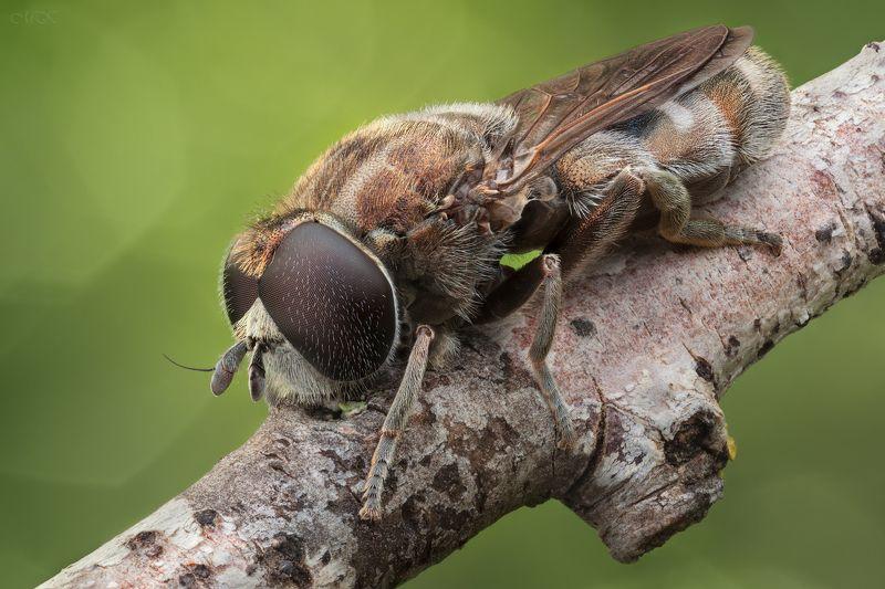 журчалка,  syrphidae Власоглазкаphoto preview