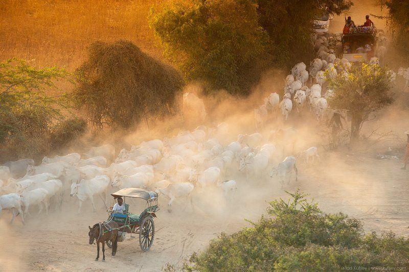 баган, мьянма, бирма, свет, закат, коровы, burma, myanmar Конец дня в Баганеphoto preview