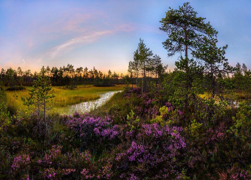 ленинградская область, озеро, болото, закат, сосна, фотопроект, сумерки, лето, вереск, заросли, цветы., Цветущий вереск на болоте.photo preview