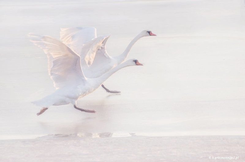 birds swans ..photo preview