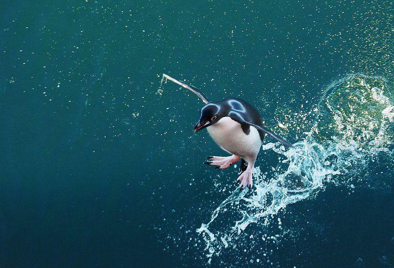 пингвин адели,  антарктика. Прыжки в высоту)))photo preview