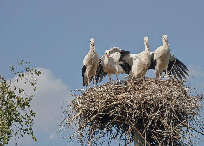 аисты птицы родные Родные моиphoto preview