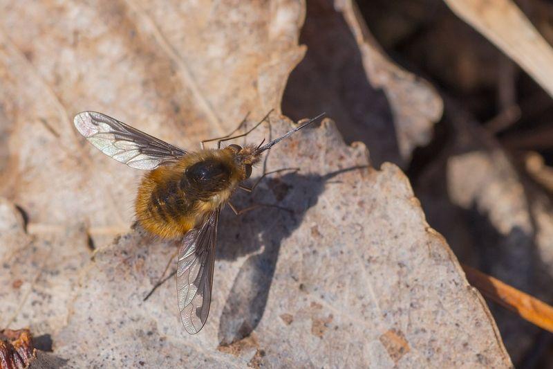 муха, жук, крылья, лист, хобот, свет Жужжалоphoto preview