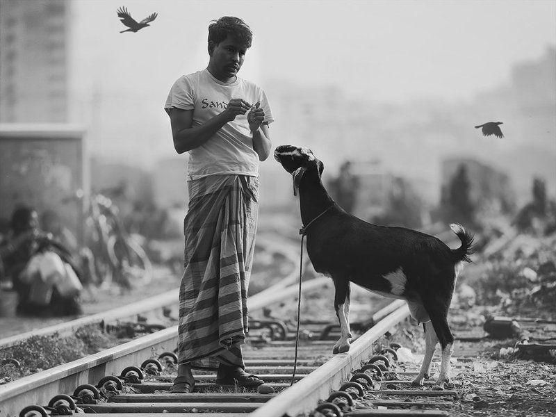 коза, рельсы, поезда, шпалы, мужчина, коршуны, птицы, улица, железная дорога, бангладеш Кормилицаphoto preview