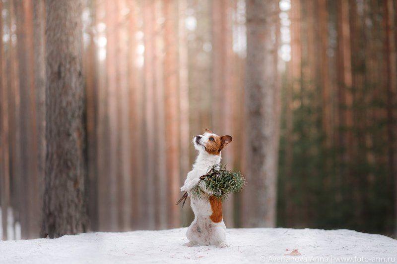 собака, лес, природа В сосновом лесуphoto preview