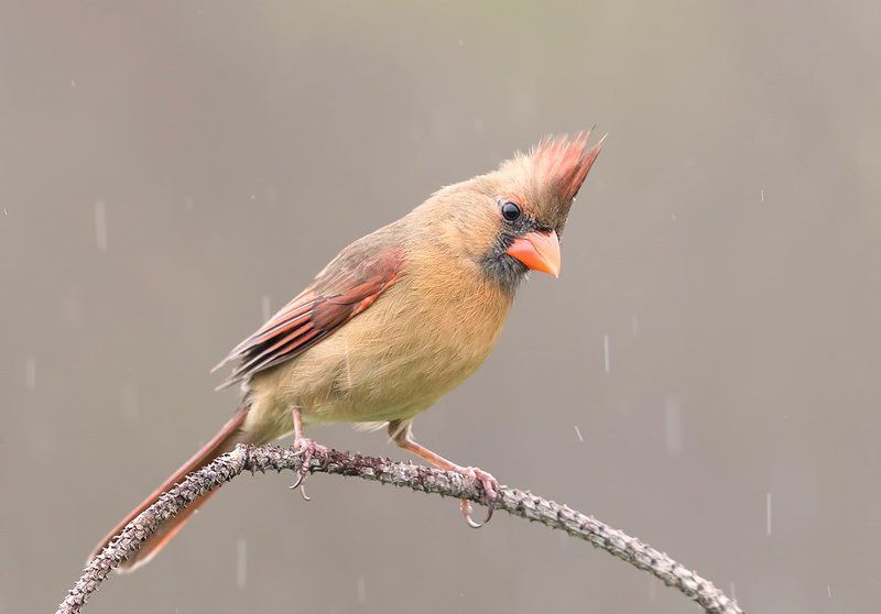 красный кардинал, northern cardinal, cardinal,кардинал Красный кардинал (cамка) - Northern Cardinal (female)photo preview