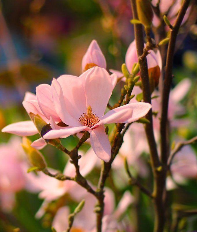 магнолия, magnolia Magnoliaphoto preview