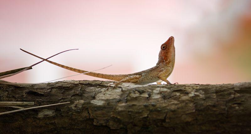 природа, ящерицы, макро, доминикана Грацияphoto preview