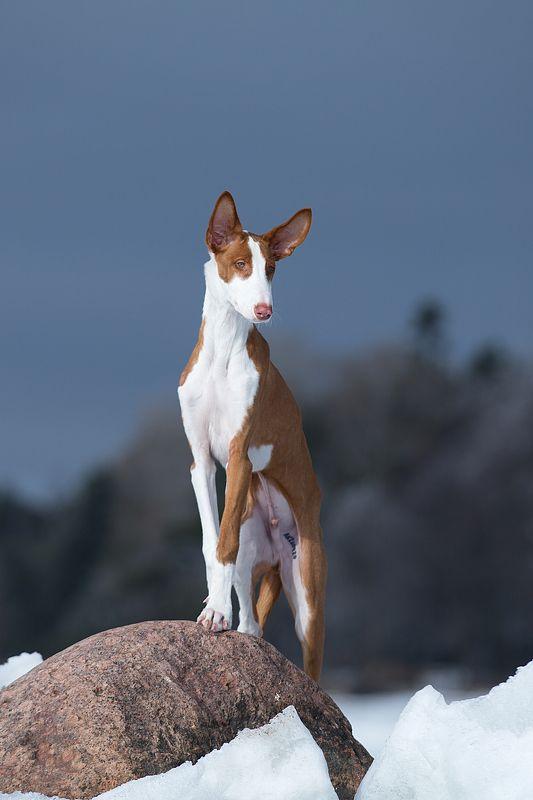 собака, зима, лед, камень. поденко Портретphoto preview