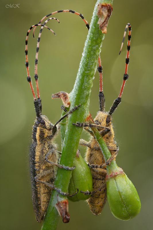 стеблевый, усач, agapanthia  pustulifera Усачи-гусарыphoto preview