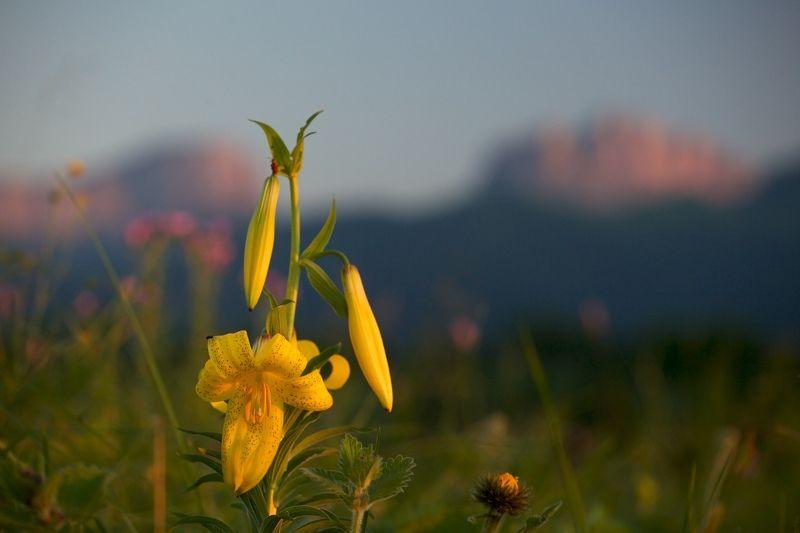 горные лилии, кавказ, природный парк, большой тхач, ночь, звезды, млечный путь, горы Про горные лилииphoto preview