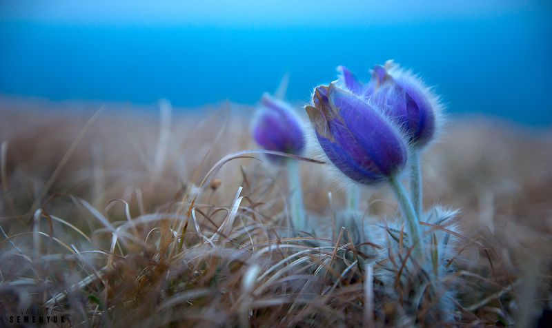Крым, цветы, прострел Геллера, Сон-трава, весна, макро. Засыпает Сон-трава.photo preview