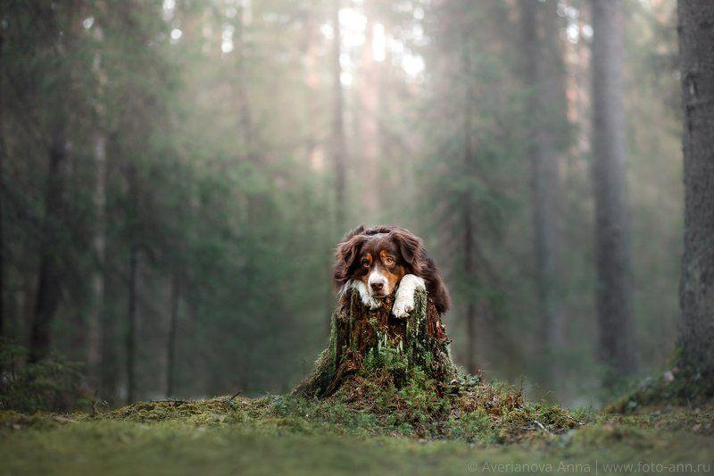 собака, лес, природа В таинственном лесуphoto preview