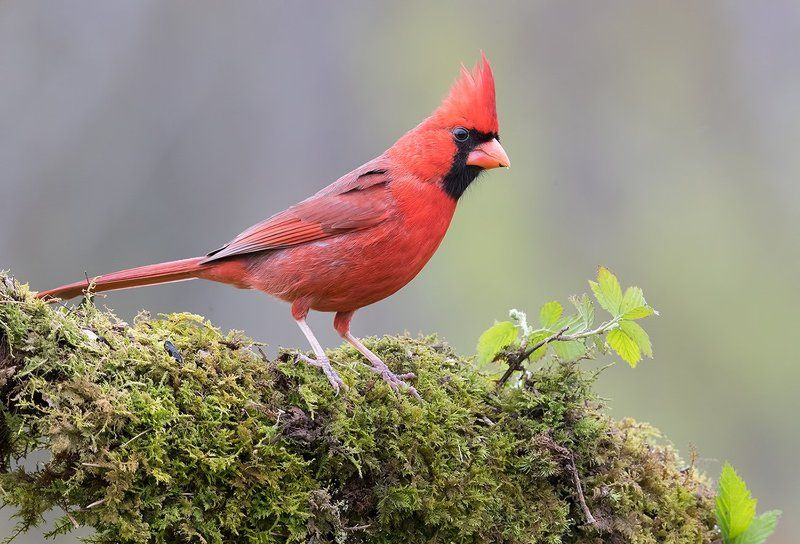 красный кардинал, northern cardinal, cardinal,кардинал Красный кардинал - Northern Cardinalphoto preview