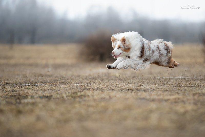 собака, аусси, фрисби, спорт, динамика. Полет над полем...photo preview