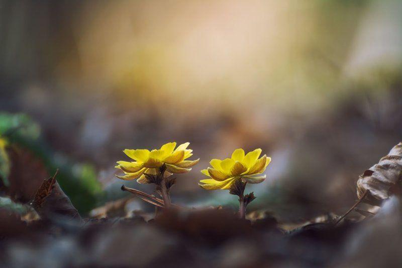 адонис амурский, приморье, цветы Первыеphoto preview
