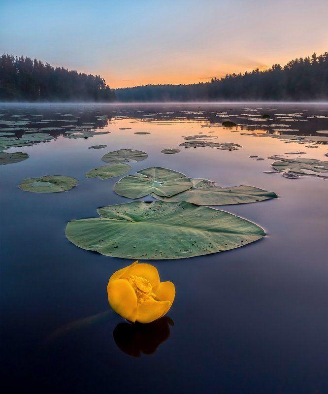 цветы, кубышка, озеро, рассвет, ленинградская область. Кубышка жёлтая.photo preview