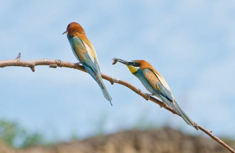 птицы золотистые щурки Всё лучшее для Васphoto preview