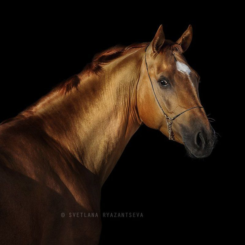horse, head, portrait, red, look, black, background, isolated, лошадь, портрет Искандерphoto preview