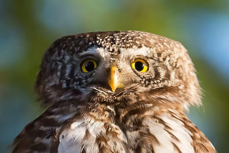 Pygmy owl, pose, finland, 65g Pygmy owl posephoto preview