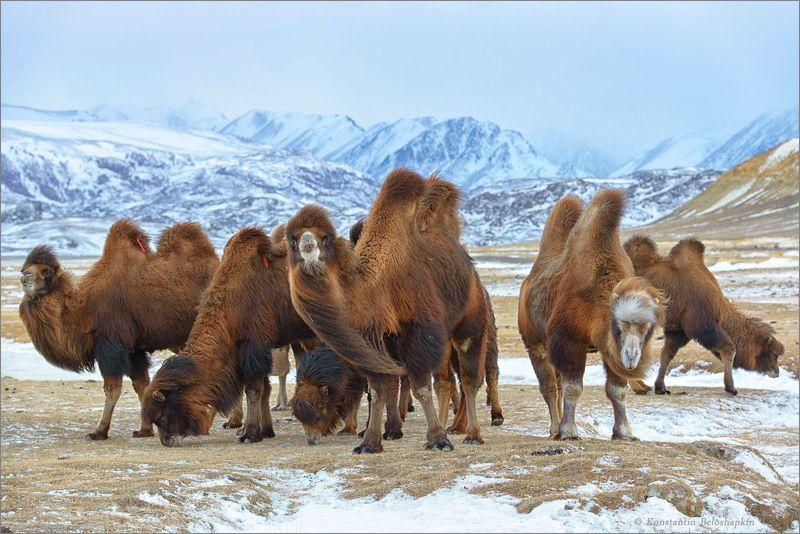 Алтай, Бактриан, Верблюды, Зима, Чаган, Чуйская степь, Южно-чуйский хребет Бактрианы Чуйской степиphoto preview