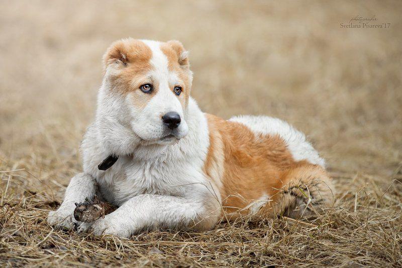 собака, щенок, милый, алабай, азиат, среднеазиатская овчарка. Сладкий малыш...photo preview