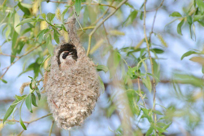птица ремез домосед Домоседphoto preview