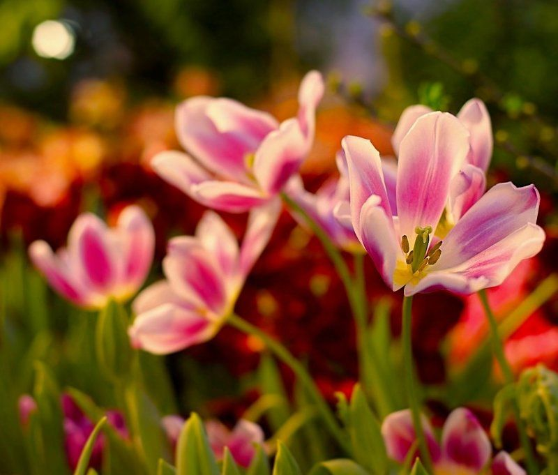 Tulips at sunsetphoto preview