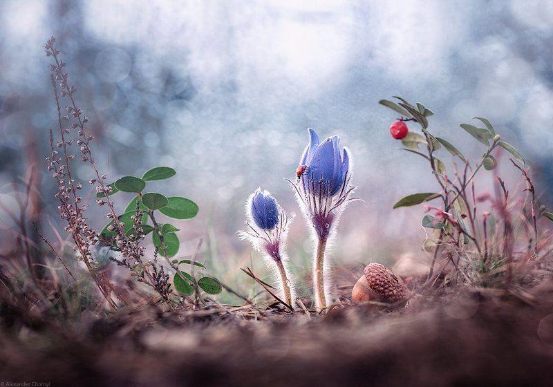 макро, макро красота, макро мир, макро истории, природа, украина, коростышев, фотограф, чорный, сон-трава, сон трава, я видел нежность...photo preview
