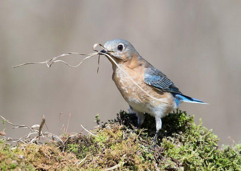 восточная сиалия, eastern bluebird, bluebird Весенние хлопоты у птиц - С Международным Днем Птиц!photo preview