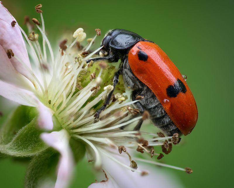 Портрет жука листоедаphoto preview