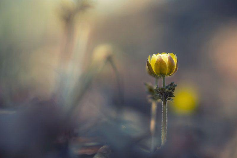 адонис амурский, приморье, цветы Пробуждениеphoto preview