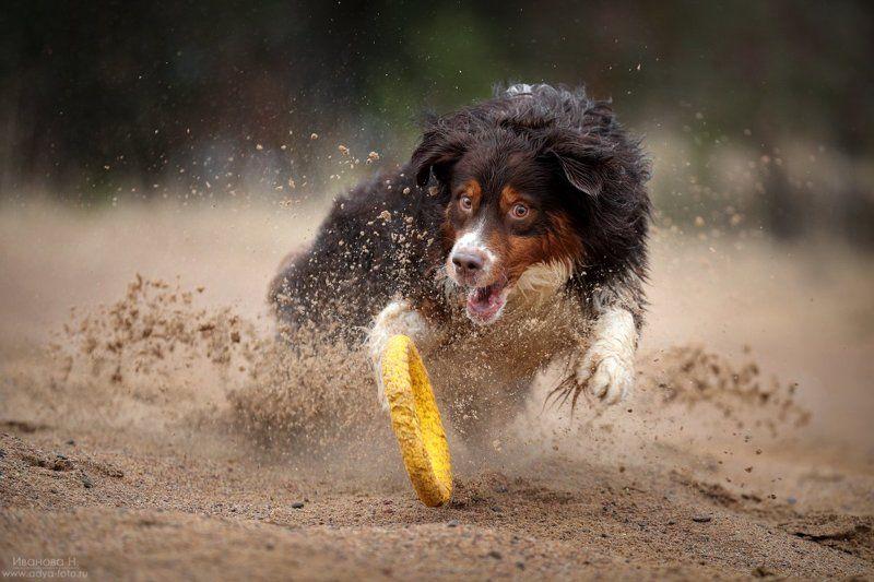 Australian Shepherdphoto preview