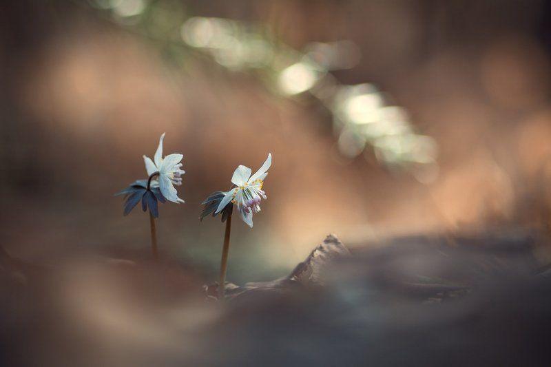 весенник звездчатый, цветы, приморье ***photo preview