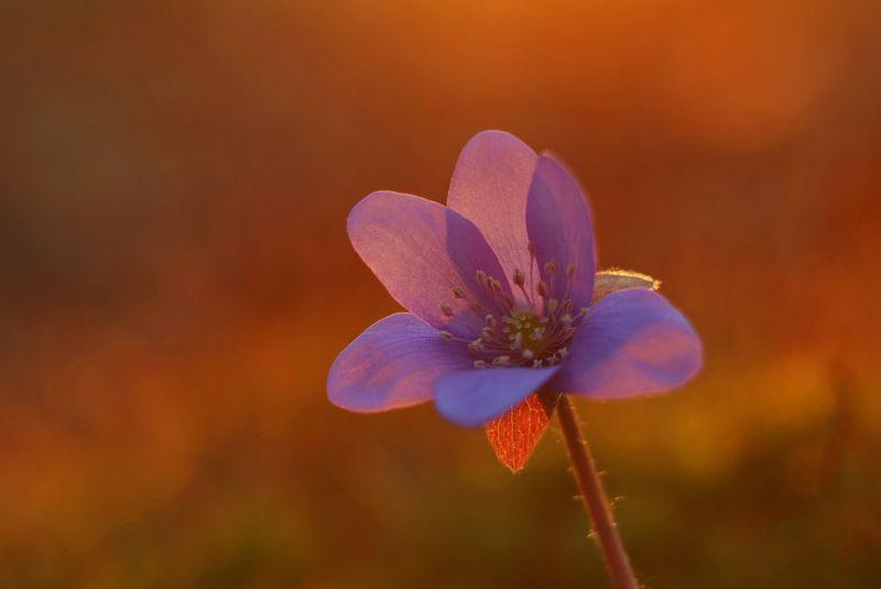 цветы, природа, закат В закатном цветеphoto preview