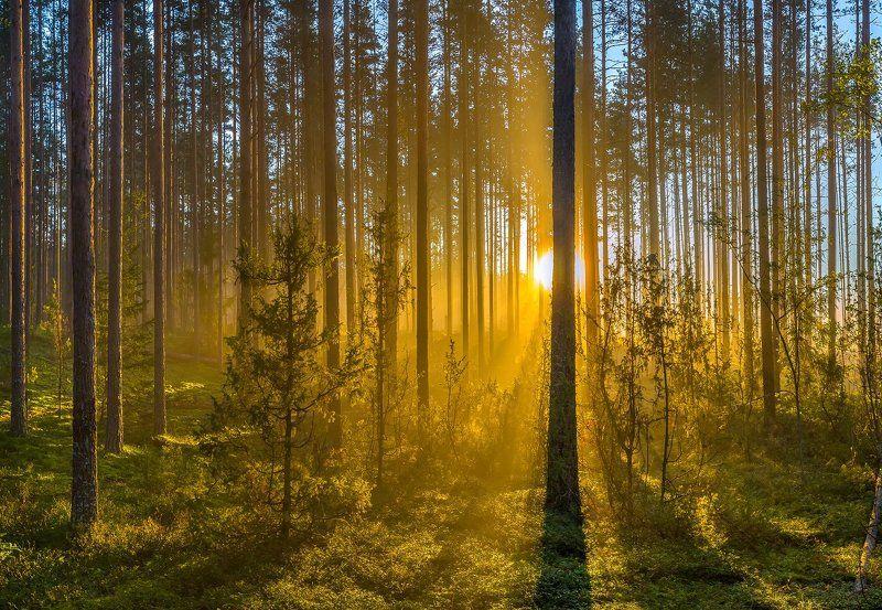 ленинградская область, рассвет, туман, сосновый бор, можжевельник, Туманный рассвет в сосновом бору.photo preview
