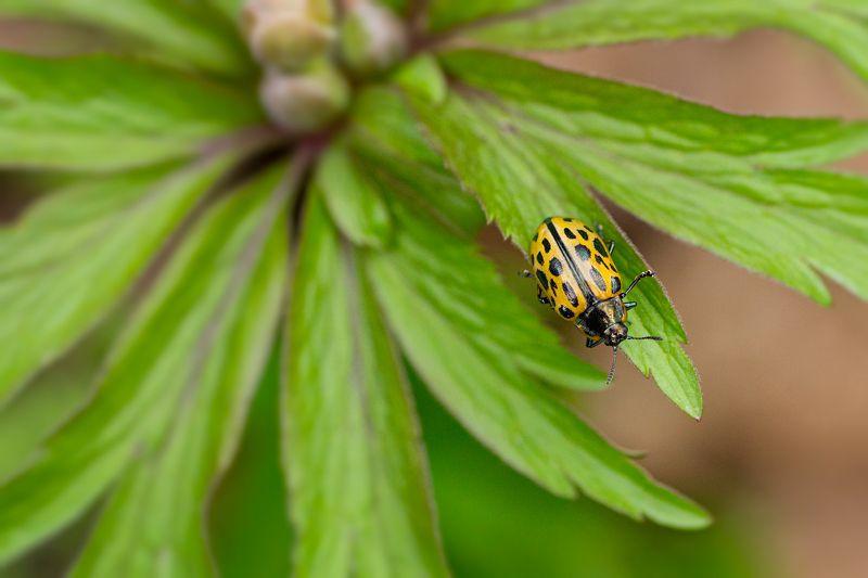 жук, зелень, лист, трава ***photo preview